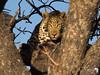 Leopard Looking 2