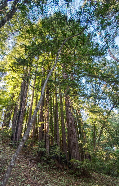 Redwood Catthedral 001