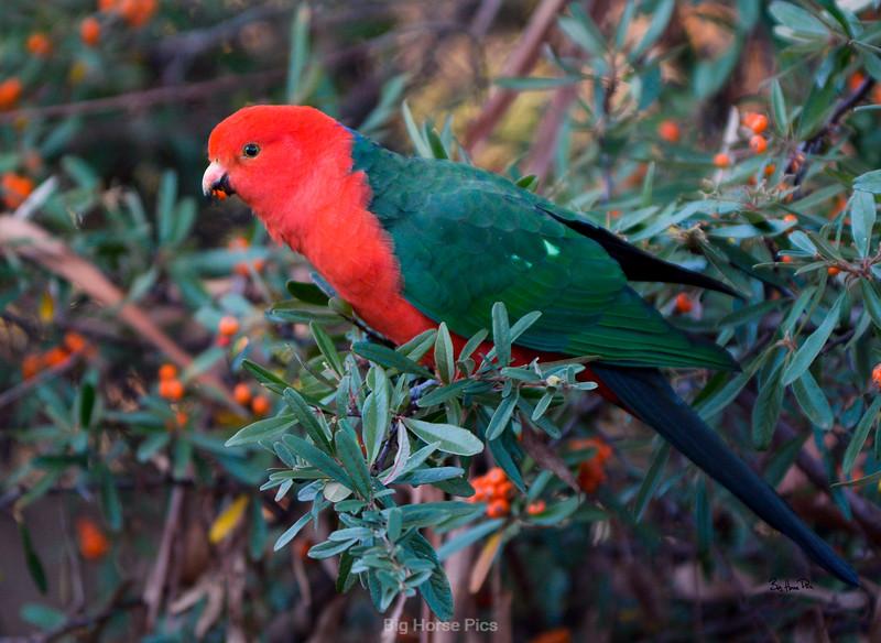 King parrot smug.jpg