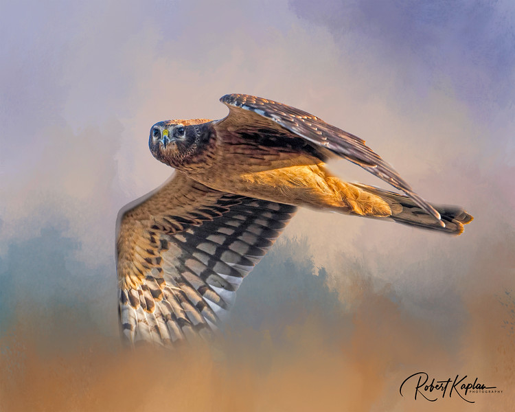 Harrier DeNoised-Quietmorningatthe beach Background_3654- - Copy.jpg