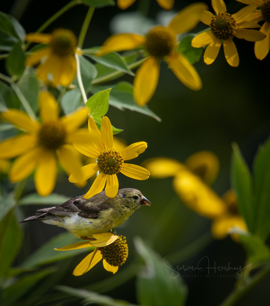 _5002453 Sparrow with daisys logo.jpg