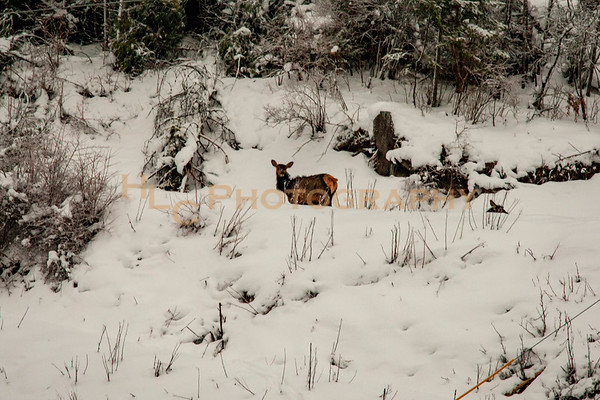 02/15/19 Elk in Osburn, Idaho
