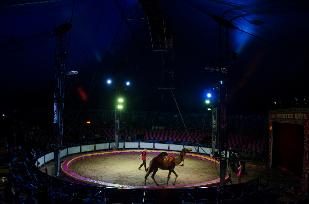 Description of . In this June 25, 2014, photo, Bebeto Fuentes coaches Boster, a camel, during a performance with the Fuentes Gasca Brothers Circus in Mexico City. Besides the camel the Fuentes Gasca Brothers also own horses and other exotic animals including tigers and a zebra. (AP Photo/Sean Havey)