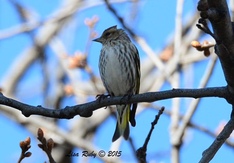 Pine Siskin - 3/7/2015 - Julian, Birdwatcher