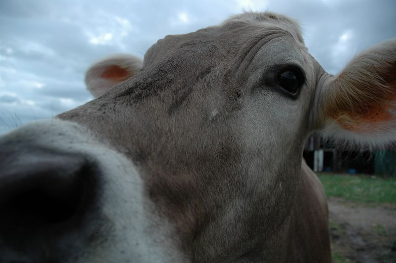 Just another cow picture.