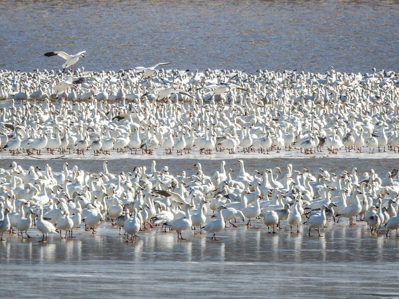 Snow Geese at Middle Creek 2016