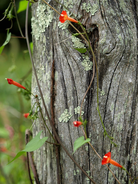 sandburg farm tree 2011 RD.jpg