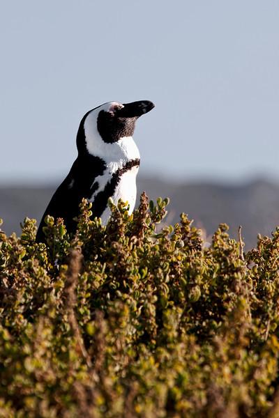Basking-Penguin-Boulders-bay.jpg