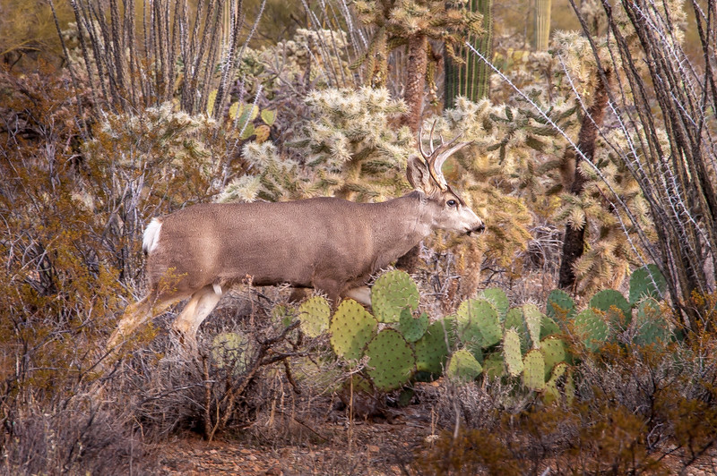 Mule Deer in Desert #1