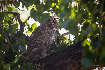 CP Owl September 2017