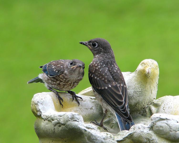 bluebird_fledgling_3732.jpg
