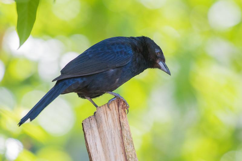 19-Sept Brazil Birds-6618.JPG