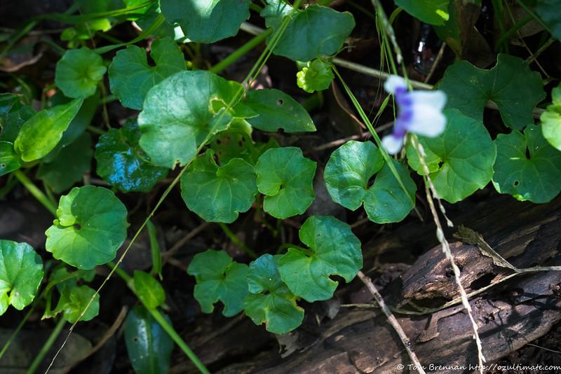 Viola banksii, Flat Rock Drive