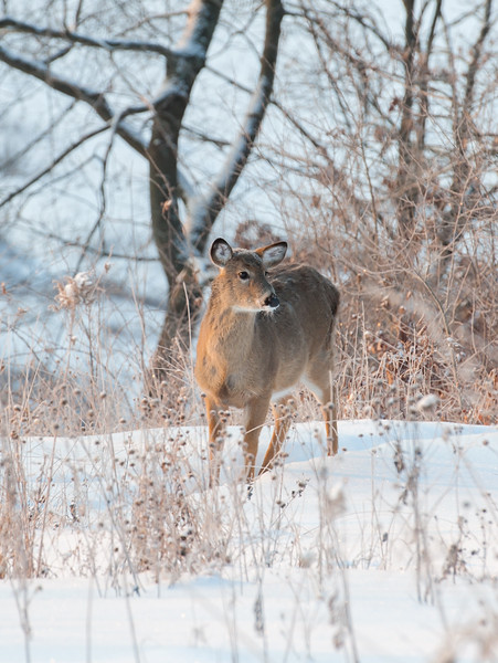 Tough Winter For Deer