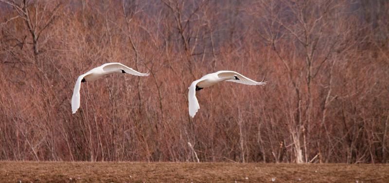 2011 swan migration aylmer (31 of 51).jpg