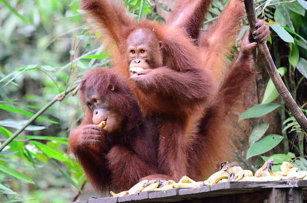 Semenggoh Orangutan Centre