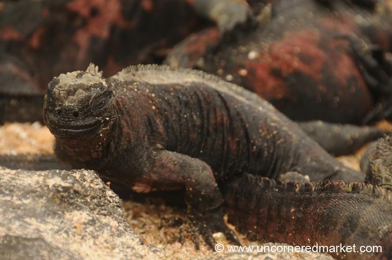 Sleepy Marine Iguana - Galapagos Islands