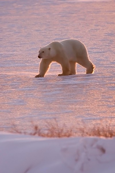 Polar Bear, Churchill,Manitoba