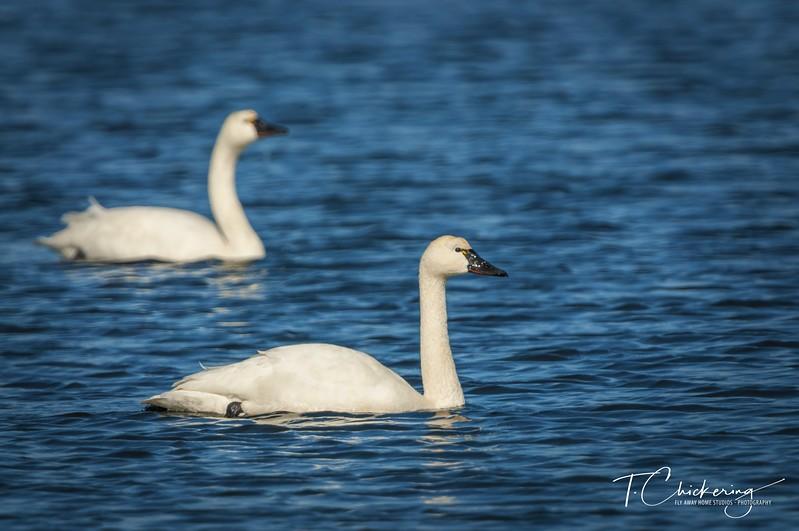 Tundra Swans Two-1517360455979.jpg