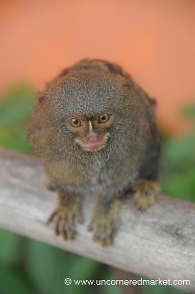 Inquisitive Face of a Pigmy Marmoset - Guayaquil, Ecuador