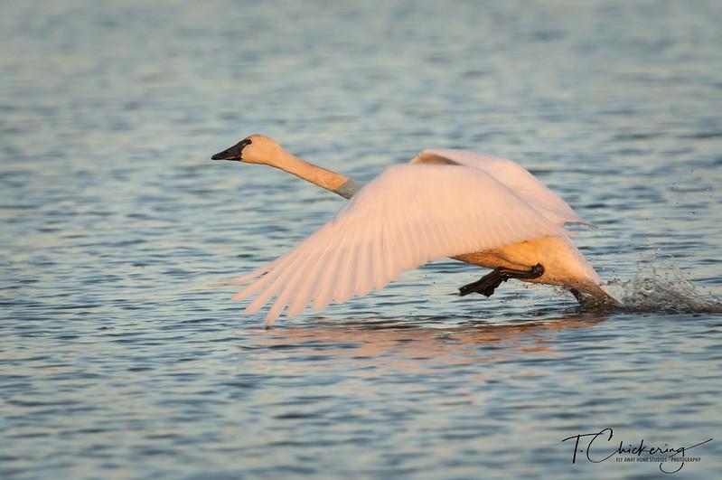 Trumpeter Swan Take Off-1512179843221.jpg