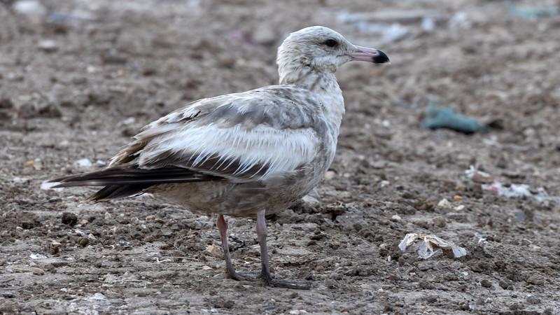Herring Gull @Brownsville Landfill