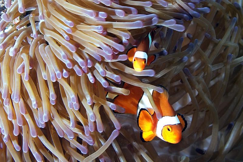 Clown Fish 2.jpg