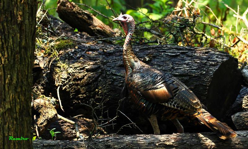 Wild Turkey 8-15-15 205.jpg