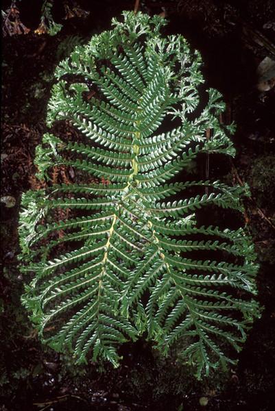 Sadleria pallida (crested)