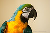 Blue & Gold Macaw named Rio - 5 years old