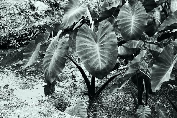 Hawaiian Plants