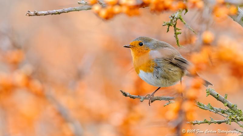 Rødhals (Erithacus rubecula - Robin)