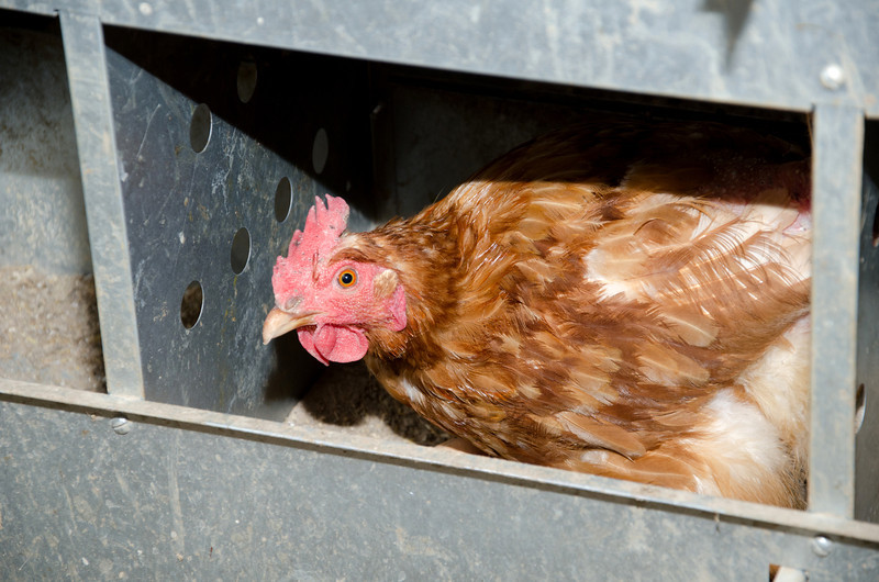 A chicken laying an egg inside of a nesting box on a farm in Illinois