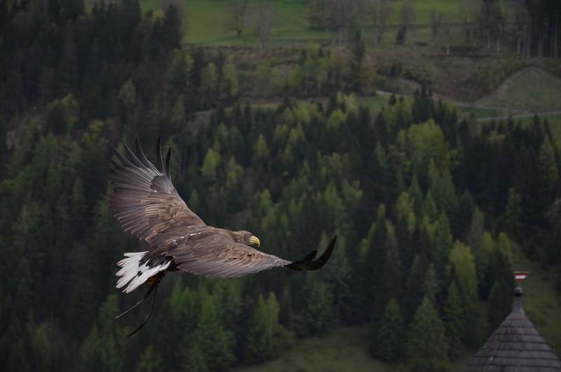 bird-of-prey-eagle-feathers-56865.jpg