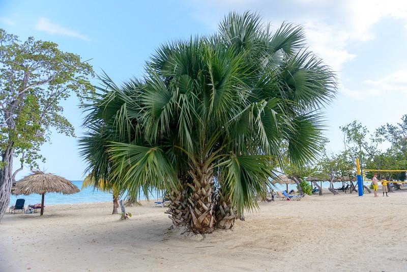 Huge palm tree
