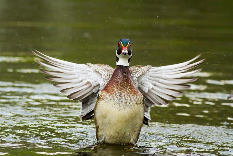 S_Wood duck wings_MG_3765.jpg