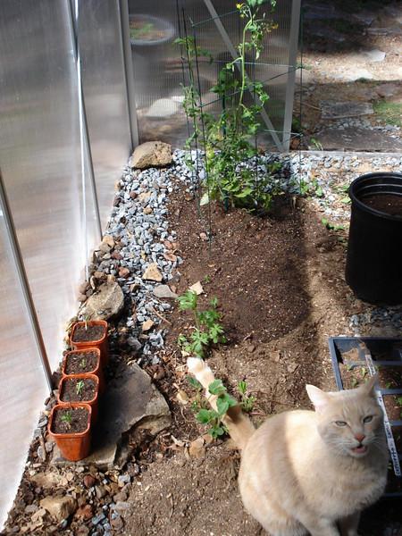 Kitty, Peas, Tomato 05_11_2007