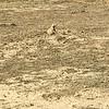 Prairie dog watching from his burrow
