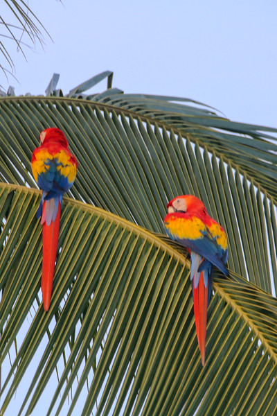 Macaws in Palm Trees