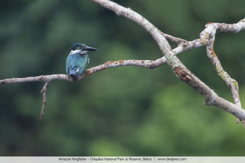 Amazon Kingfisher - Chiquibul National Park & Reserve, Belize