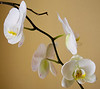 Beautiful white orchids over a tan colored background.