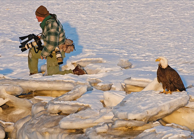 Photographing eagles in Homer, Alaska. Wearing several layers of clothing for the minus degree temps. Slowly working my way towards an Eagle in front of me on an iceberg in great light.  Friends yelling to me from a distance to tell me something and I waved them off to be quiet.  Lo and behold, looked what landed in behind me.  Sometimes this wildlife photographer is not in tune with the surroundings. (photo by Linda Robbins, 3/06).