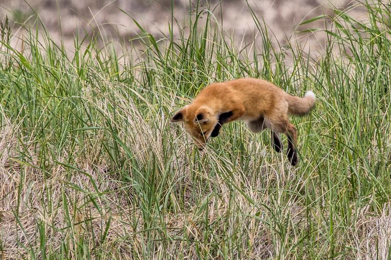 5-23-2016 Fox Kits 213 SM.jpg