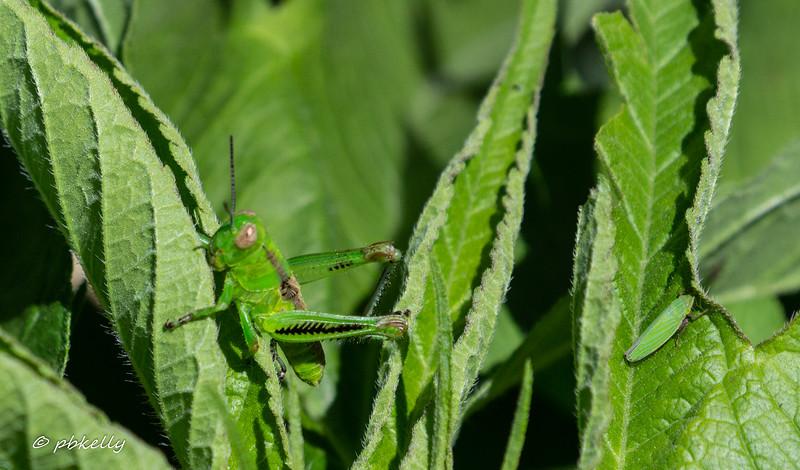 grasshopper 070717.jpg