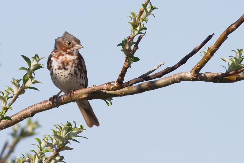 Fox Sparrow - Nome, AK, USA