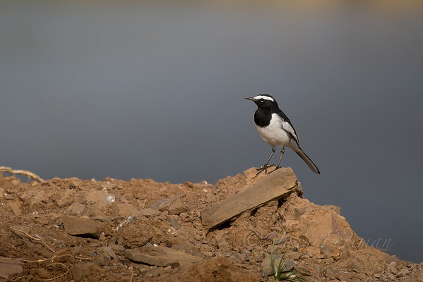 Asian Wagtails