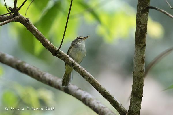 Philippine Leaf Warbler
