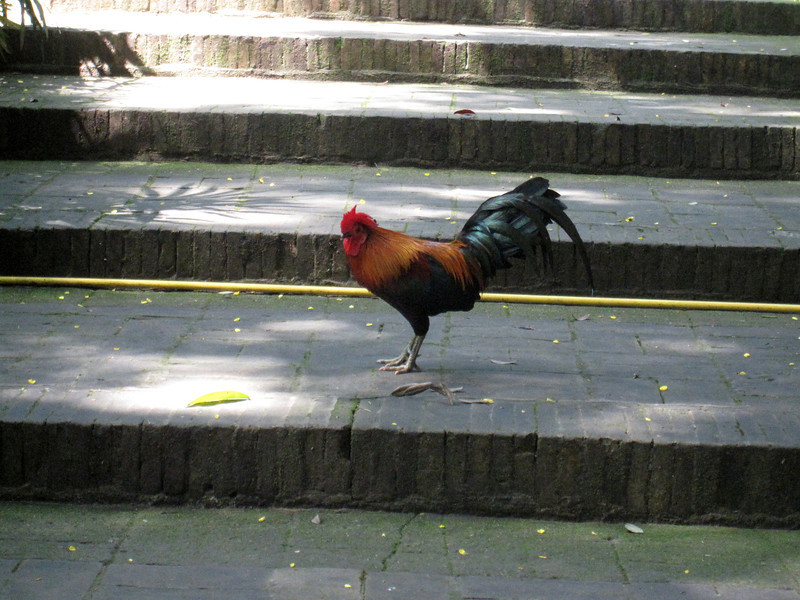 A random rooster that popped out of no where and starting walking around on the stairs.