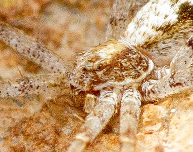 running crab spider Philodromus species near retreat on boulder in Admiral Road gravel pit Bog BioBlitz Sax-Zim Bog MN  IMG_1327.jpg