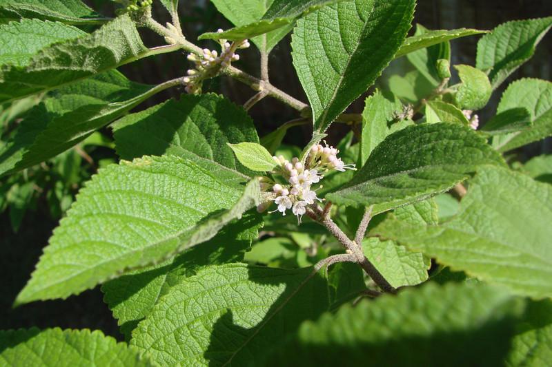 Callicarpa americana / American Beautyberry (deciduous shrub, Texas native) 6/11/07